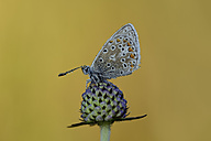 Wet Common blue on blossom bud - MJOF001272