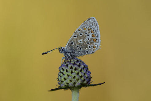 Wet Common blue on blossom bud - MJOF001272