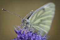 Wet Green-veined White on blossom - MJOF001275