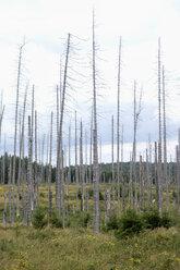 Germany, Harz, Brocken, dead trees - NDF000589