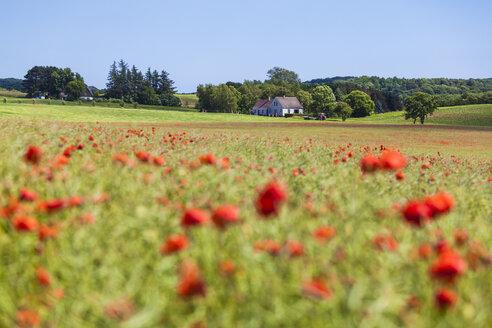 Denmark, Moen, Poppy field - WDF003744