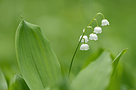Lily of the Valley - RUEF001731