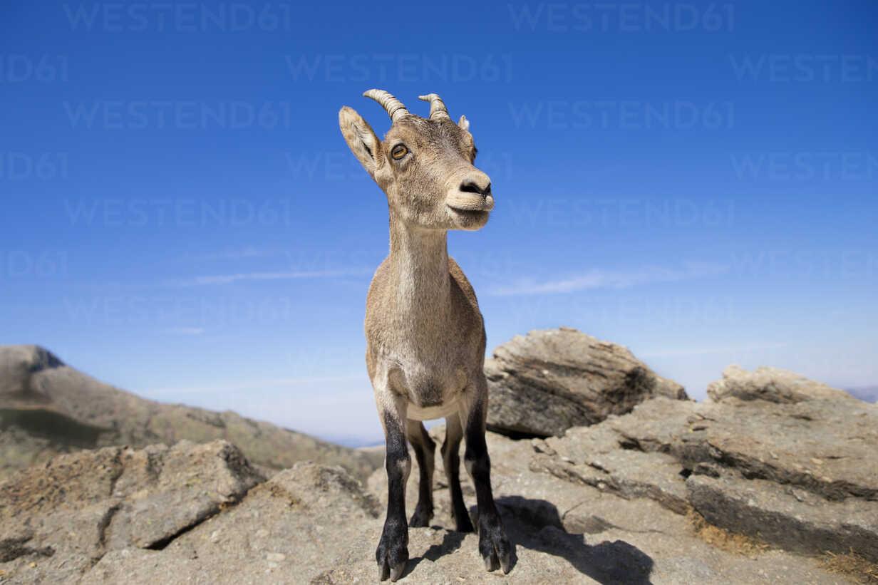 Spain, Sierra de Gredos, Western Spanish ibex on a rock - ERLF00192 - Enrique Ramos/Westend61