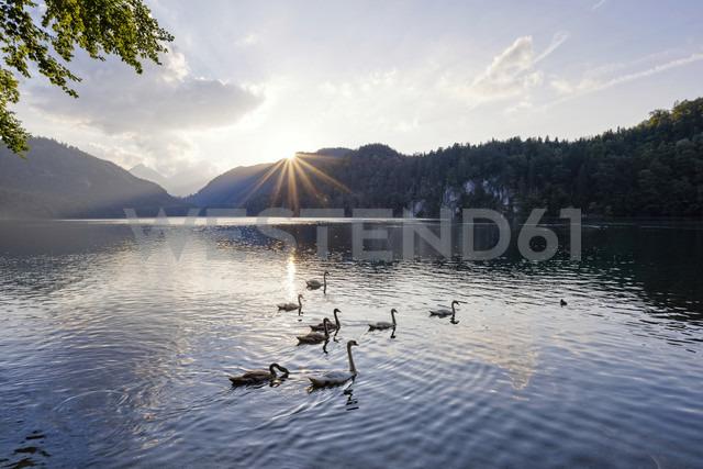 Germany, Bavaria, East Allgaeu, Lake Alpsee near Fuessen with swans at sunset - WGF00959