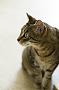 Tabby cat watching something - MYF01777