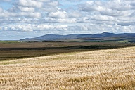 United Kingdom, Scotland, Inner Hebrides, Isle of Islay, barley fields - ELF01797