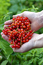 Hands of teenage girl holding red currants - LBF01465