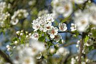 Blossoming cherrry tree, close-up - LBF01467