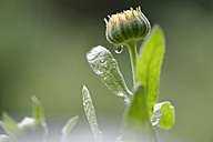 Blossom bud of Pot Marigold with raindrop - LBF01470