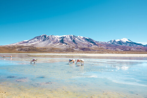Bolivia, Andean Altiplano, Laguna Hedionda, a saline lake with pink and white flamingos - GEMF01065