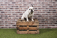 Portrait of French bulldog sitting on wooden box in front of brick wall - RTBF00408