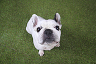 Portrait of French bulldog sitting on grass looking up - RTBF00411