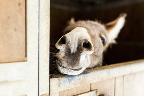 Donkey looking out of stable - VABF00789