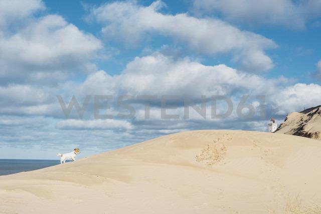 Denmark, North Jutland, dog in sand dune at lighthouse Rubjerg Knude - MJF02041