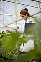 Female scientist checking plants in greenhouse - ZEF10429