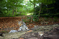 Grey squirrel - MJOF01288