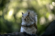 Portrait of grey squirrel - MJOF01291