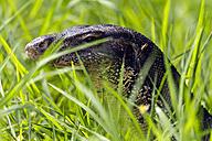 Thailand, portrait of monitor lizard behind grass - ZCF00421