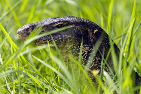 Thailand, portrait of monitor lizard behind grass - ZCF00421