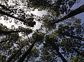 Tree tops of coniferous trees, view from below - SIPF00919
