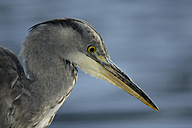 Portrait of grey heron - MJOF01299