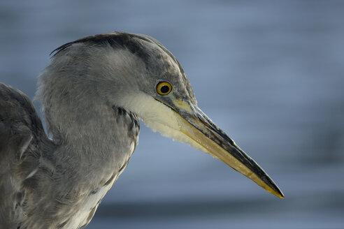 Portrait of grey heron - MJOF01299