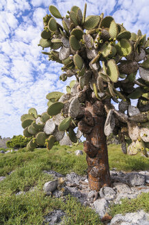 Ecuador, Galapagos, Galapagos Land Iguana, Conolophus subcristatus, lies below a Galapagos prickly pear, Opuntia echios - CBF00373