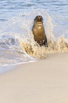 Ecuador, Galapagos Islands, Santa Fe, Galapagos sea lion at seafront - CBF00385