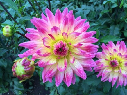 Dahlia flower with water drops - JTF00778