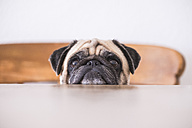 Pug's head leaning on tabletop - SIPF00938