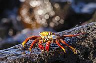 Ecuador, Galapagos Islands, Espanola, Red Rock Crab on a rock - CB00402