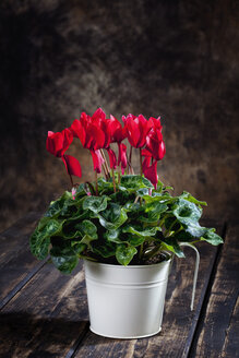 Red cyclamen in flower pot - CSF27748
