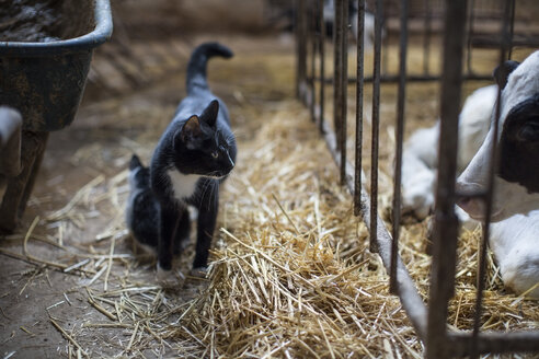 Cats and calf on farm - ZEF10788