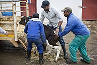 Men loading a calf on trailor - ZEF10803