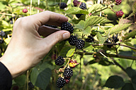 Man plucking blackberries - NDF00606