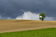 Italy, Tuscany, Val d'Orcia, single oak tree on a hill - LOMF00434