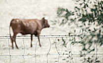 Bulls on a farm - DEGF00915