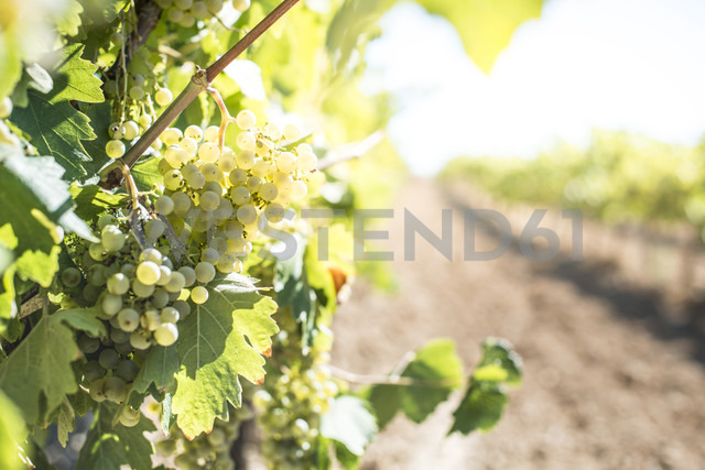 White grapes hanging from vine - DEGF00924