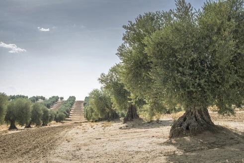 Spain, Ciudad Real, olive tree plantation - DEGF00933