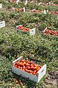 Spain, Logrono, tomato harvest - DEGF00936