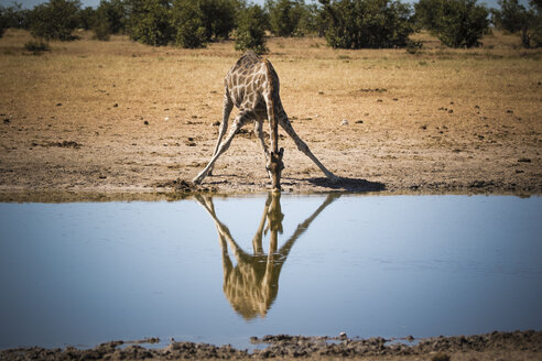 Namibia, Etosha National Park, Giraffe drinking at waterhole - MPAF00067