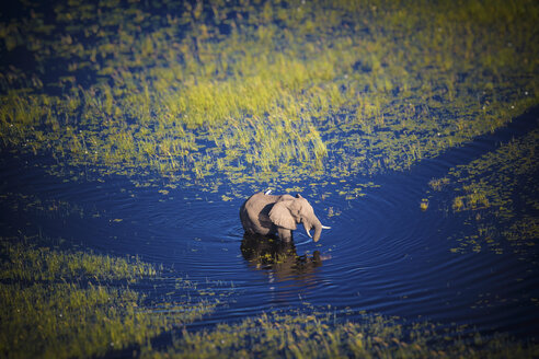 Botswana, Elephant walking in Okavango river at high water - MPAF00070