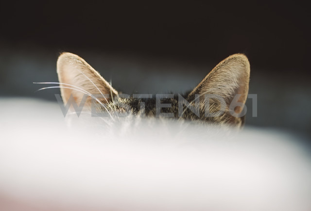 Ears of hiding cat - RAEF01528