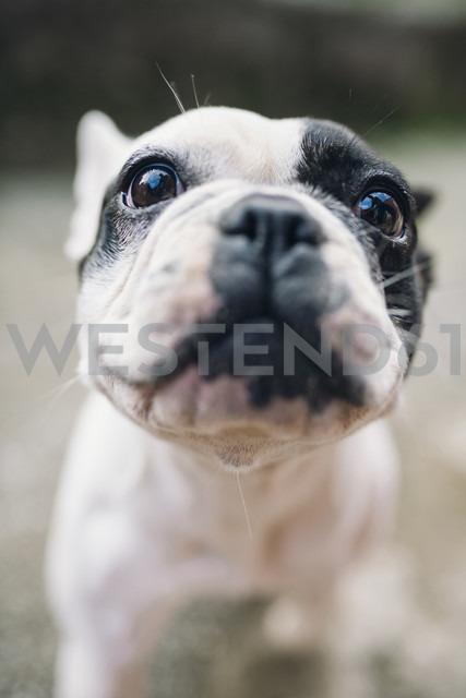 Portrait of French Bulldog - RAEF01531