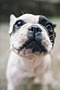 Portrait of French Bulldog - RAEF01531