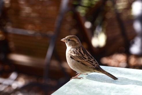 Sparrow - JTF00781