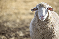 Portrait of a sheep - ZEF11233
