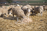 Flock of sheep eating hay - ZEF11236