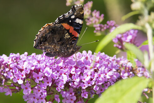 Red Admiral on blossom of butterfly bush - SIEF07135