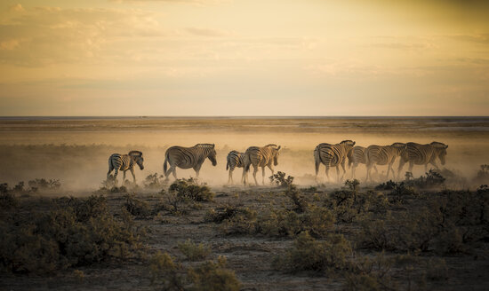 Namibia, Etosha National Park, Herd of zebras in morning light - MPAF00088